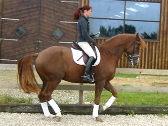 DRESSAGE HORSES FOR SALE - CLICK ON THE IMAGE